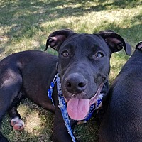 Pit Bull Terrier/Labrador Retriever Mix Dog for adoption in Wichita Falls, Texas - Tux