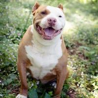 American Pit Bull Terrier Mix Dog for adoption in Eugene, Oregon - Colonel