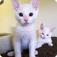 Adopt A Pet :: Armani - Orange, CA