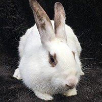Adopt A Pet :: Squiggs - Watauga, TX