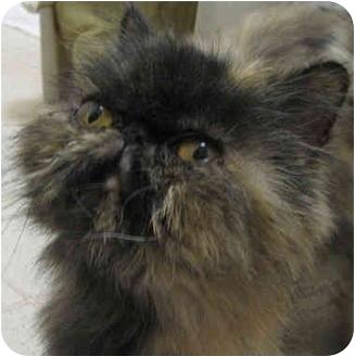 Persian Cat for adoption in Davis, California - Calypso