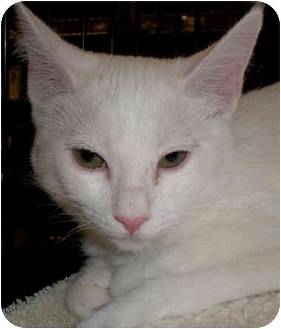Domestic Shorthair Kitten for adoption in Yorba Linda, California - Bella