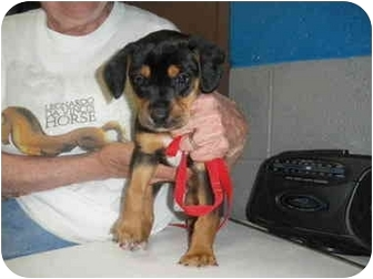 "Terrier (Unknown Type, Medium) Mix Puppy for adoption in MARION, Virginia - ""Pink"""