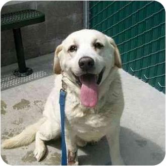 Labrador Retriever Dog for adoption in San Diego, California - STETSON