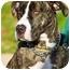 Photo 1 - Hound (Unknown Type)/Great Dane Mix Dog for adoption in Freeport, New York - Maryanne