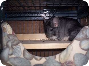 Chinchilla for adoption in Avondale, Louisiana - Chum Chum