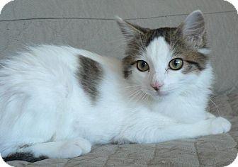 Domestic Mediumhair Kitten for adoption in Hendersonville, Tennessee - Chloe