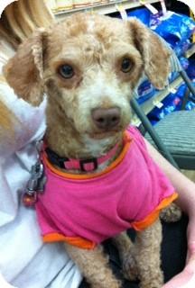 Poodle (Miniature) Dog for adoption in Studio City, California - Apricot