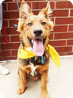 Shepherd (Unknown Type)/Retriever (Unknown Type) Mix Dog for adoption in Detroit, Michigan - Carlson-Adopted!