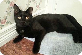Domestic Shorthair Cat for adoption in Arlington/Ft Worth, Texas - Sunshine Velvet