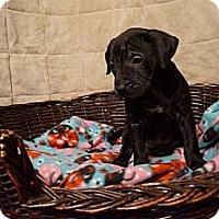 Adopt A Pet :: Lyra - Hilliard, OH