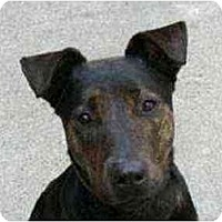 Adopt A Pet :: Harriet - New York, NY