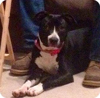 Labrador Retriever Mix Dog for adoption in Glenburn, Maine - Doodlebug