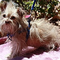 Adopt A Pet :: Beardsley - Gilbert, AZ