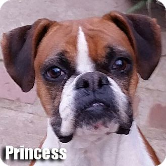 Boxer Dog for adoption in Encino, California - Princess