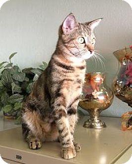 Bengal Cat for adoption in Riverside, California - Monyka