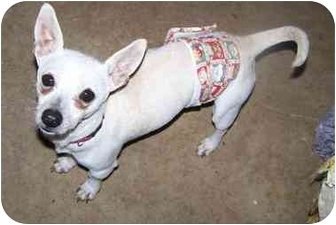 Chihuahua/Terrier (Unknown Type, Small) Mix Dog for adoption in Fort Worth, Texas - Rambo