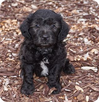 Cockapoo/Cocker Spaniel Mix Puppy for adoption in La Habra Heights, California - Will