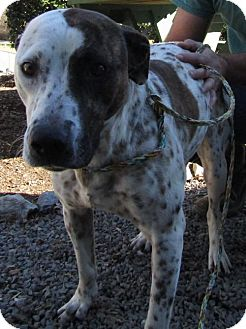 Australian Cattle Dog/Pit Bull Terrier Mix Dog for adoption in Marble, North Carolina - Laurel