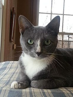 Domestic Shorthair Cat for adoption in Stanhope, New Jersey - Atlantis