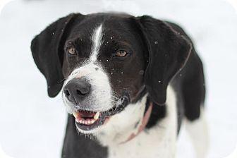 Springer Spaniel/Labrador Retriever Mix Dog for adoption in Midland, Michigan - Claude