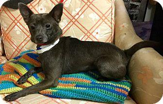 Chihuahua Mix Dog for adoption in Phoenix, Arizona - Chrome