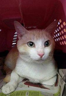 Domestic Shorthair Cat for adoption in Ocala, Florida - Sweet Sid