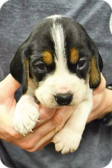 Beagle/Basset Hound Mix Puppy for adoption in Lake Odessa, Michigan - Olaf