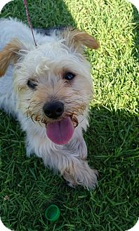 Yorkie, Yorkshire Terrier/Silky Terrier Mix Dog for adoption in Los Angeles, California - Sparky