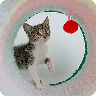 Domestic Shorthair Kitten for adoption in Wilmington, Delaware - Mako