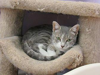 Domestic Shorthair Cat for adoption in Westbury, New York - Alexis
