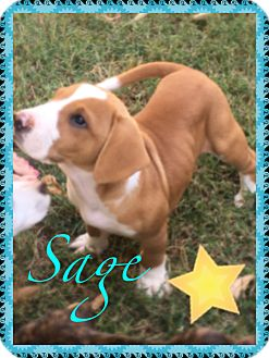 Boxer Mix Puppy for adoption in siler city, North Carolina - Sage