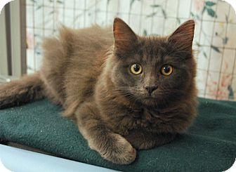 Domestic Mediumhair Kitten for adoption in Winchendon, Massachusetts - Chloe & Ivy