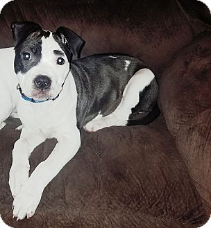 Pit Bull Terrier Mix Puppy for adoption in Middletown, Ohio - Blossom