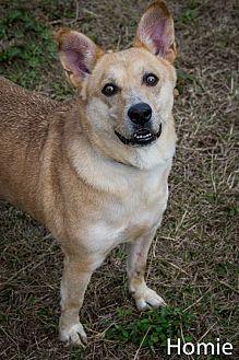 Shepherd (Unknown Type)/Corgi Mix Dog for adoption in Jackson, Mississippi - Homie