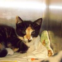 Domestic Shorthair/Domestic Shorthair Mix Cat for adoption in Westville, Indiana - Malibu