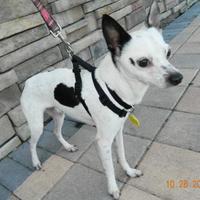 Adopt A Pet :: Cowboy/Cosimo - Umatilla, FL