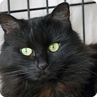 Domestic Longhair Cat for adoption in Norwalk, Connecticut - Zoe