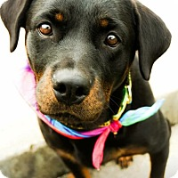 Adopt A Pet :: Darla - Red Lion, PA