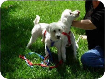 Bichon Frise/Poodle (Toy or Tea Cup) Mix Dog for adoption in La Costa, California - Ricky and Lucy