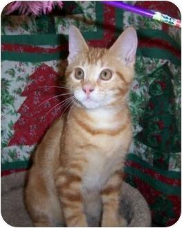 Domestic Shorthair Kitten for adoption in Brighton, Michigan - Hardy