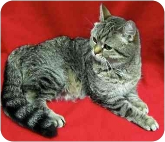 Exotic Cat for adoption in Montreal, Quebec - Crackers