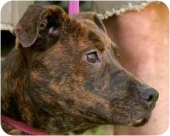 Plott Hound/Terrier (Unknown Type, Medium) Mix Dog for adoption in Millstone, New Jersey - Weezey
