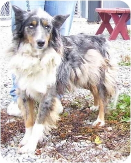 Australian Shepherd/German Shepherd Dog Mix Dog for adoption in Somerset, Pennsylvania - Zip