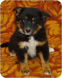 Collie Mix Puppy for adoption in Westminster, Colorado - Cyprus