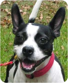 Boston Terrier Mix Dog for adoption in North Augusta, South Carolina - LEXI