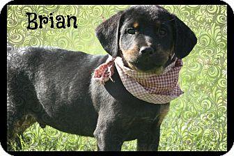 Rottweiler Mix Puppy for adoption in Cranford, New Jersey - Brian