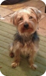 Yorkie, Yorkshire Terrier Dog for adoption in Mary Esther, Florida - Kosmo