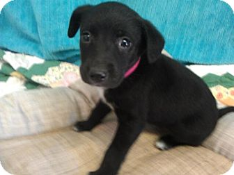 Labrador Retriever Mix Puppy for adoption in Waldorf, Maryland - Milli #435