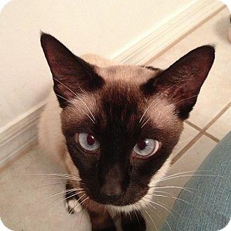 Siamese Cat for adoption in Vero Beach, Florida - Willow